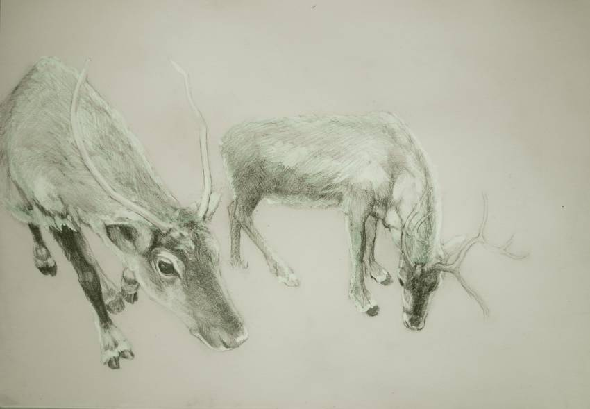 Reindeer drawing in Pencil